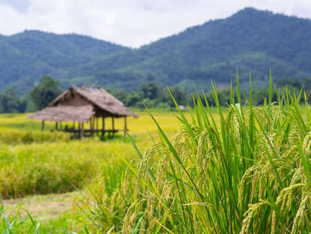 Close-up of yellow green rice field.