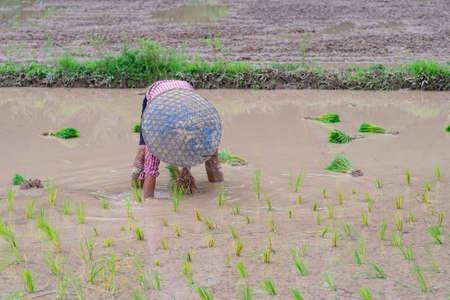 Young man farmer bend down for are rice planting on the paddy rice farmland. Northern, Thailand in the rainy season, farmers start cultivating rice plants in the rice paddy field. 免版税图像
