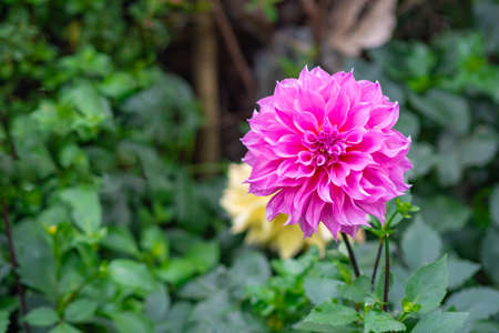 Close-up of beautiful dahlia flower is booming in the garden.