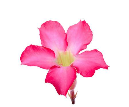 Desert Ros, Impala Lily, Mock Azalea flower isolated on white