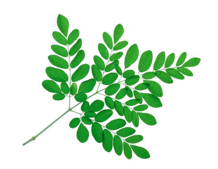 marango: Moringa leaves isolate on white background Stock Photo