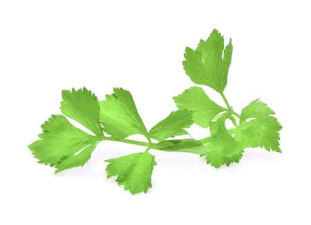 fresh celery leaf isolated on white background
