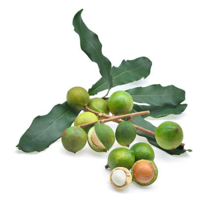 fresh macadamia with leaves isolated on white background