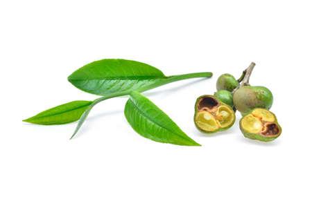 oleifera: fresh tea seeds and tea leaf isolated on white background
