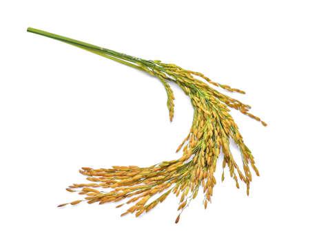 Ears of Thai Jasmine rice isolated on white background