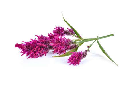 Wool flower,Celosia Argentea L. var cristata (L.) Kuntze isolated on white background
