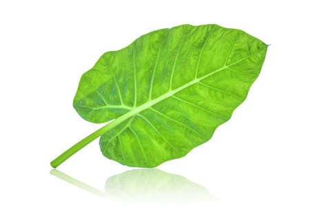 back of indian taro leaf isolated on white background Stock Photo