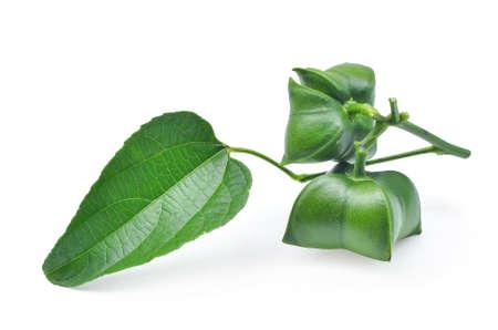 흰색 배경에 고립 된 잎으로 신선한 sacha의 inchi