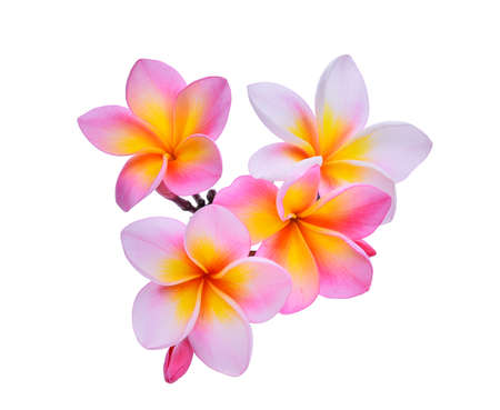 tahitian: frangipani flowers isolated on white background Stock Photo