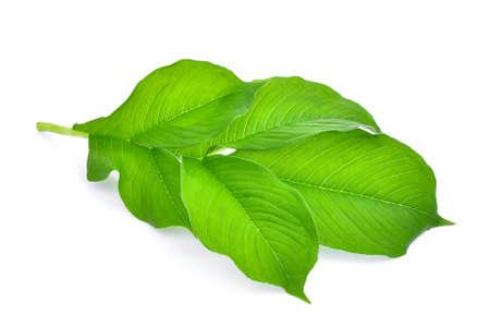 green leaf of amorphophallus paeoniifolius (dennst.) nicolson.elephant yam, stanley s water-tub, konjac isolated on white background Stock Photo