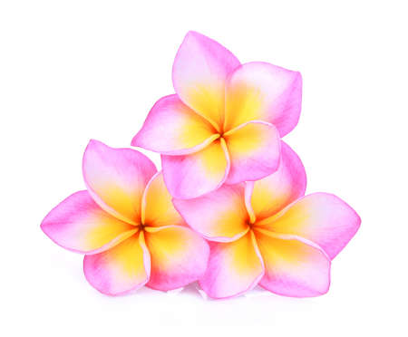 subtropical plants: pink frangipani or plumeria (tropical flowers) isolated on white background Stock Photo
