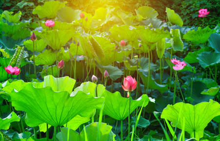 pink lotus flower and lotus flower plants in the pond with sunlight for background
