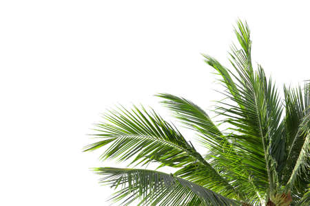 leaves of palm tree or coconut isolated on white background with copy space for background