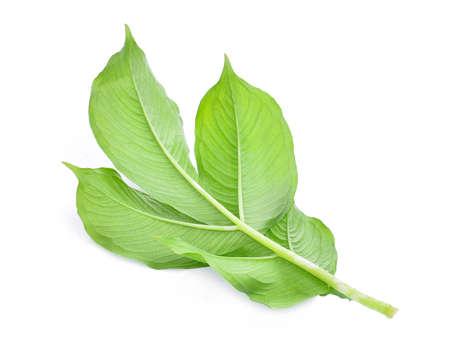 back of green leaf of amorphophallus paeoniifolius (dennst.) nicolson.elephant yam, stanley s water-tub, konjac isolated on white background Stock Photo