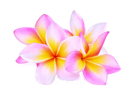 tahitian: pink frangipani or plumeria (tropical flowers) isolated on white background Stock Photo