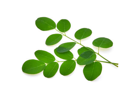 branch of green moringa leaves,Tropical herbs isolated on white background