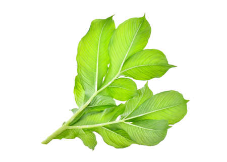 green leaf of  elephant yam or stanleys water-tub tropical plant isolated on white background