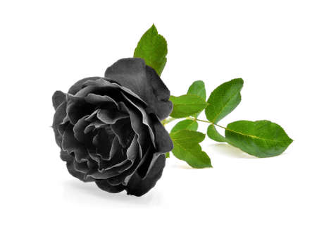 black rose isolated on white background Stock Photo