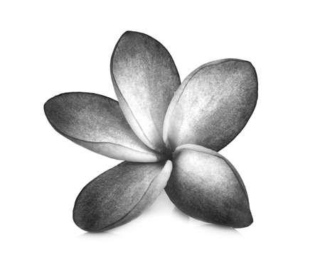 tahitian: black and white frangipani flowers isolated on the background white