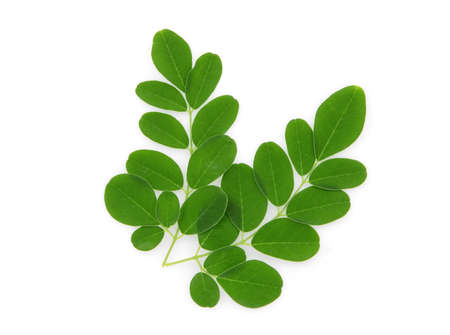 branch of green moringa leaves,tropical herbs isolated on white background Stock Photo