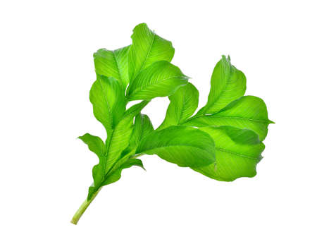 green leaf of elephant yam or stanley's water-tub tropical plant isolated on white background