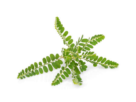 Phyllanthus niruri herb isolated on white background