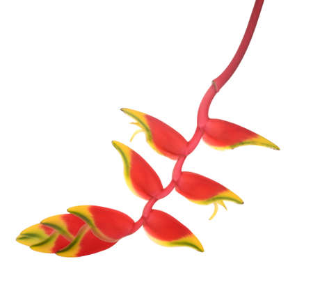 heliconia flower isolated on white background, tropical flower 免版税图像