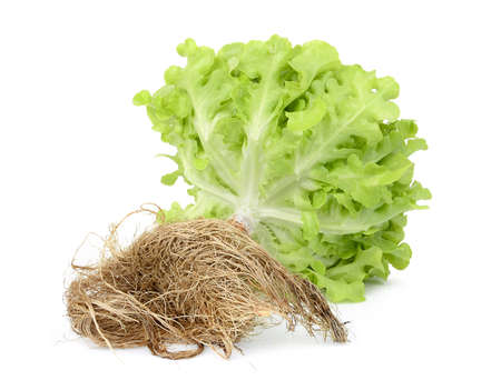 hydroponic green oak lettuce with root isolated on white background Фото со стока