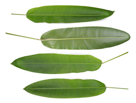 green leaf of heliconia flower isolated on white background, tropical flower