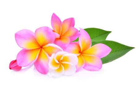 frangipani flowers with leaf isolated on white background