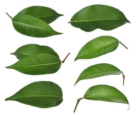 Conjunto de hoja verde aislado sobre fondo blanco.