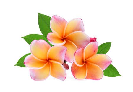 frangipani tropical flower, plumeria, Lanthom, Leelawadee flower with green leaves isolated white background Reklamní fotografie