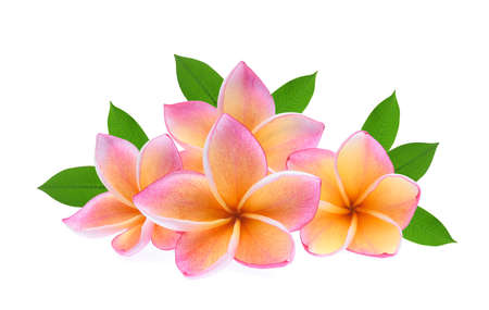 frangipani tropical flower, plumeria, Lanthom, Leelawadee flower with green leaves isolated white background Foto de archivo