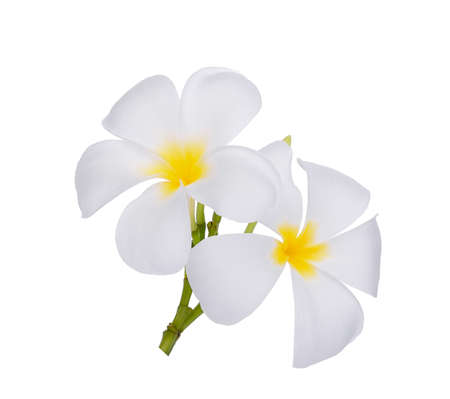 white frangipani (plumeria) flower isolated on white background Stok Fotoğraf