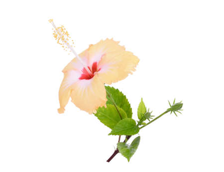 yellow hibiscus or chaba flower with green leaves isolated on white background