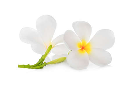 white frangipani flower isolated on white background, tropical flower
