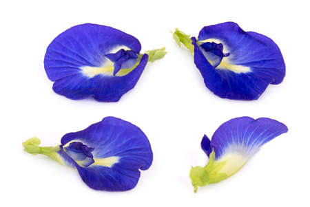 butterfly pea, blue pea, or asian pigeonwings flower isolated on white background, tropical flower