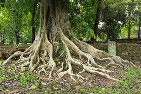 racines: vieil arbre et le mur bric Banque d'images