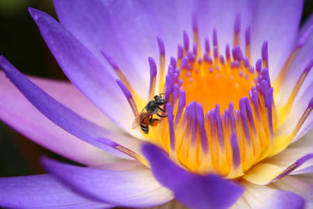 lotus bloom bee close up pollen Stock Photo