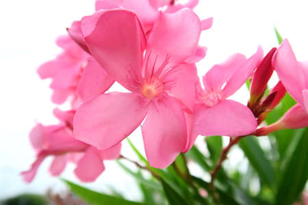 midday: Eye-catching pink Oleander spotted during midday outdoor shooting
