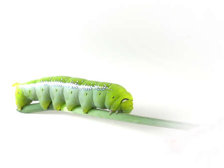 tomato caterpillar: Green Caterpillar