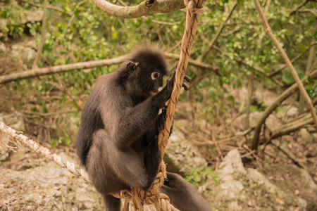 Spectacled langur sitting on a rope Wua Talap island, Ang Thong National Marine Park, Thailand. Stock Photo