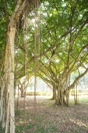 tangible: Background banyan beautiful fairy tale as tangible.