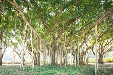 banyan: Baniano Antecedentes gran belleza natural.