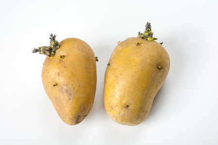 the fruitful: Two heads are fruitful potatoes Stock Photo