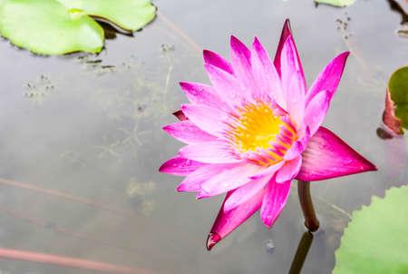 plentifully: Pink lotus flower blooming beautiful to look underneath.