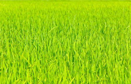 Paddy field in shallow DOF photo