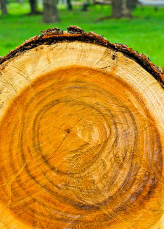 Cross section of cut tree photo