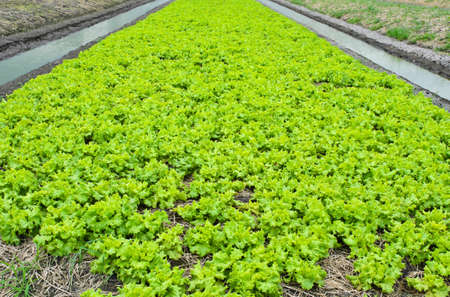 Green lettuce cultivation photo