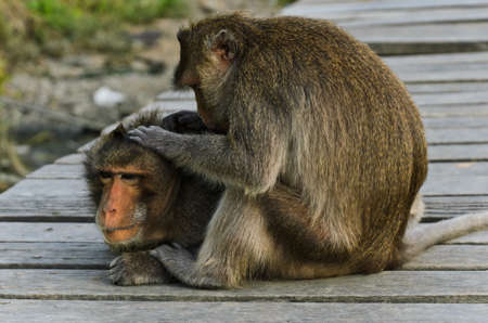 Monkey looking for fleas and ticks Stock Photo - 14846459